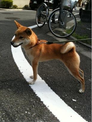柴犬ちゃん保護