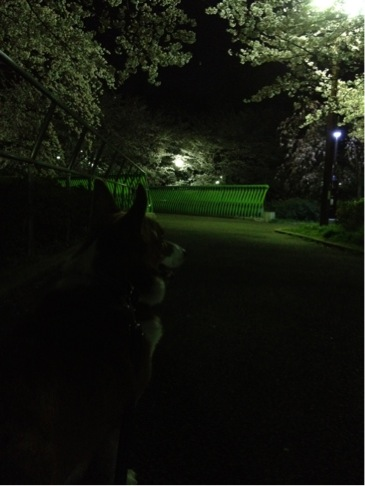 夜桜オリさん