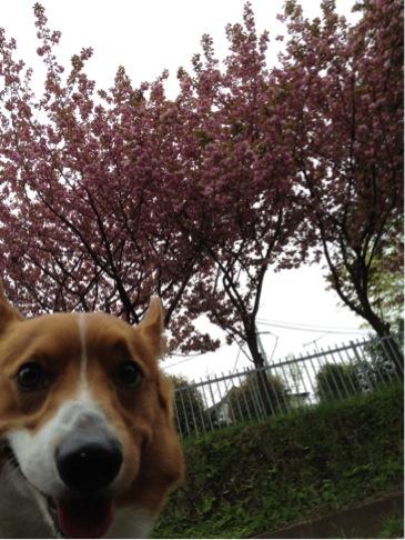 下から見上げて八重桜